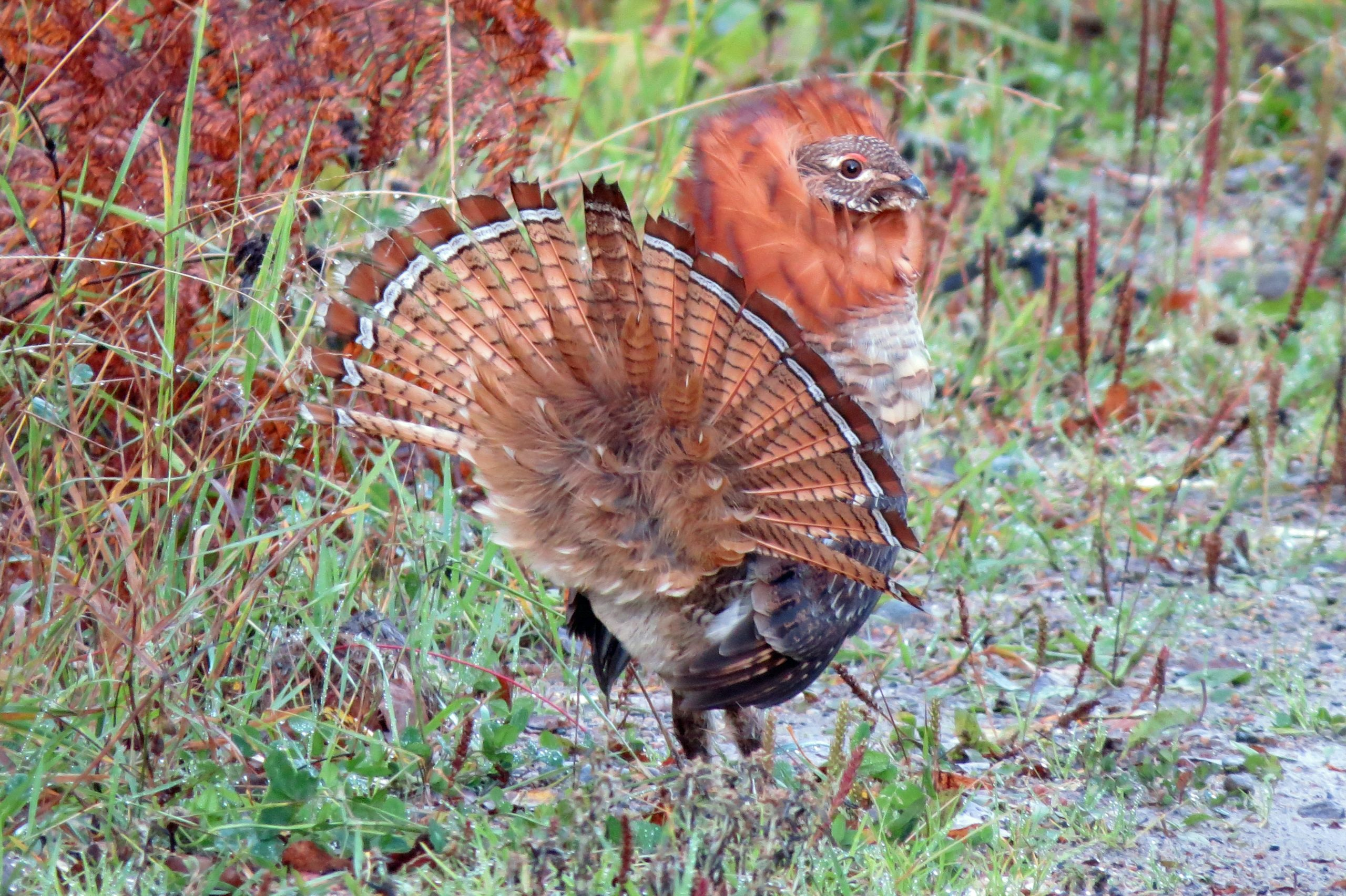 red phase grouse 3